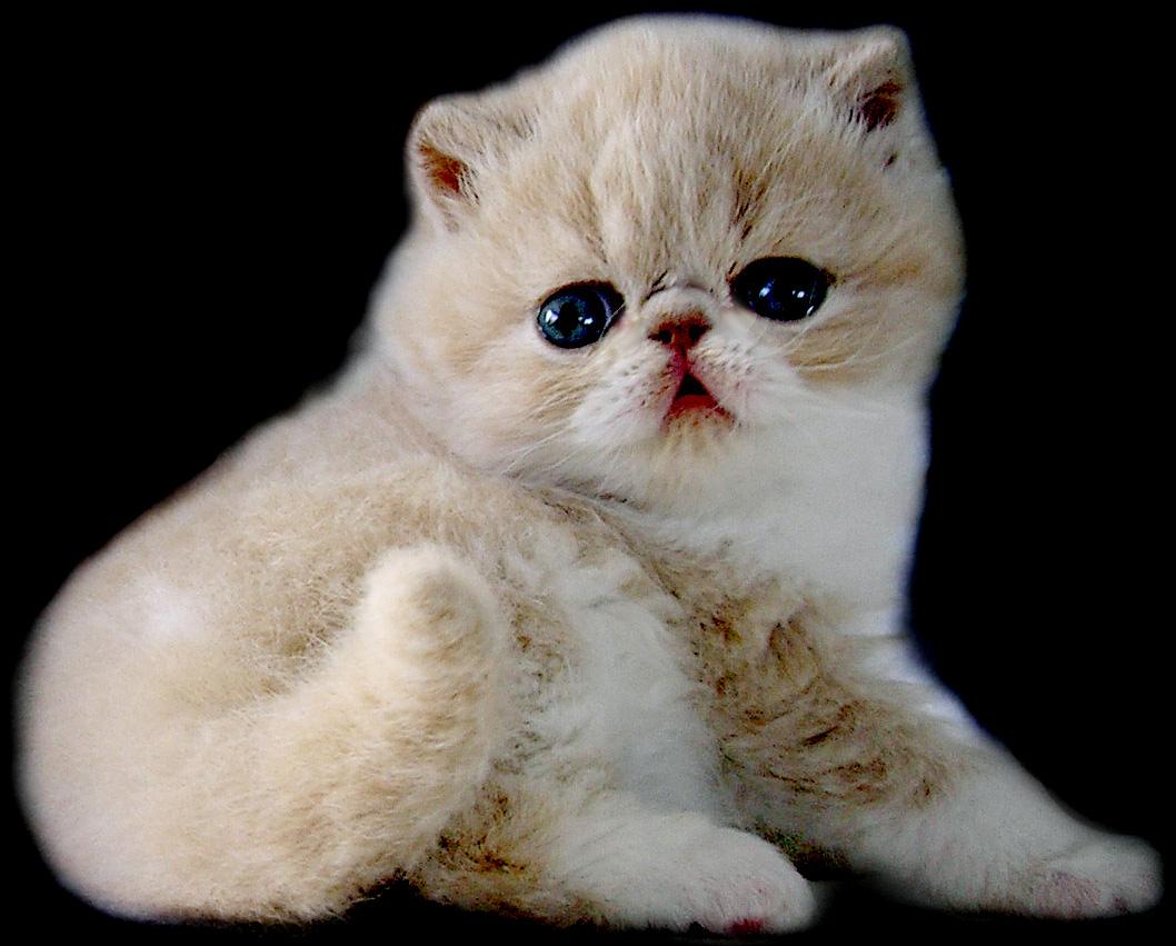 10 Ras Kucing Mahal Yang Paling Dicari Kadang Catatan Kadang